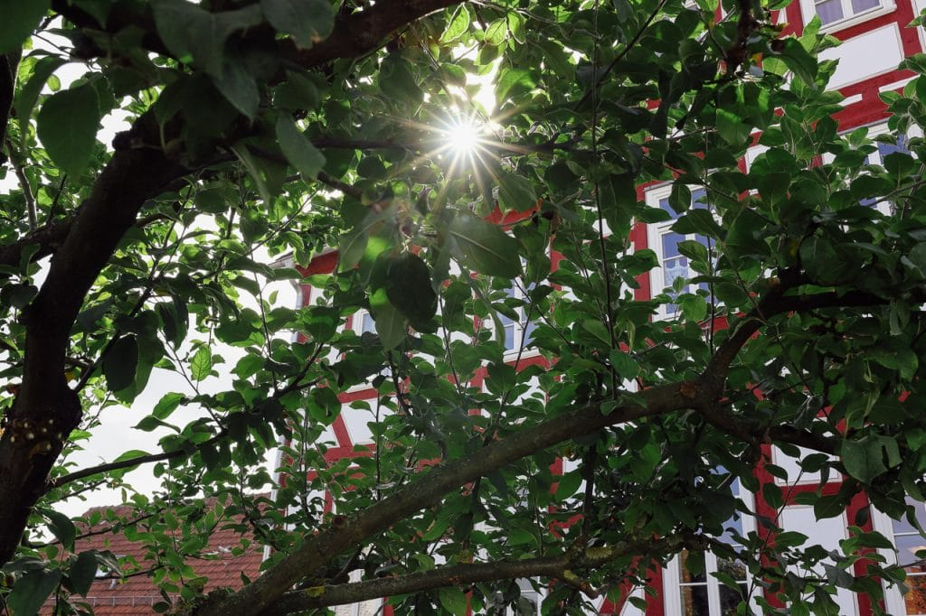 Apfelbaum am Gemeindehaus